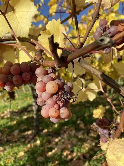Vendanges tardives